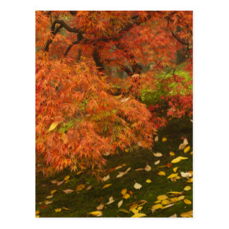Japanese maple in fall color 2 postcard