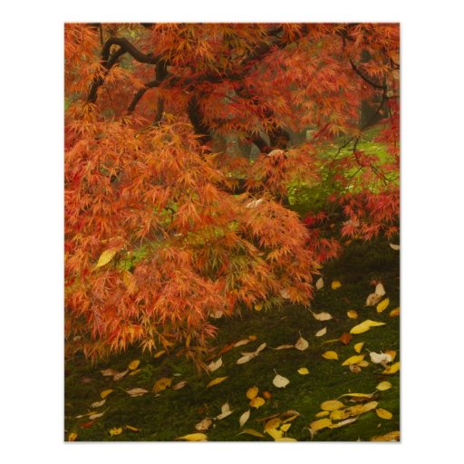 Japanese maple in fall color 2 poster