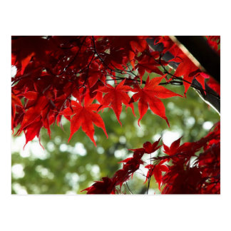 Japanese Maple Postcard