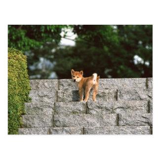 Japanese Midget Shiba 4 Postcard