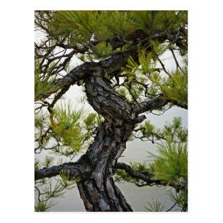 Japanese Red Pine Bonsai Tree Postcard