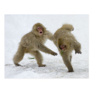 Japanese Snow Monkey cubs playing on snow Postcard