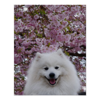 Japanese Spitz/American Eskimo Cherry Blossom Prin Poster