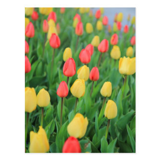 Jardin de tulipe en rouge et le jaune cartes postales