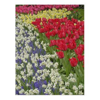 Jardin de tulipe et de jonquille, jardins de cartes postales