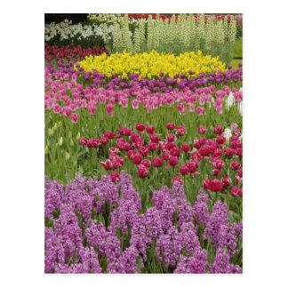 Jardin des tulipes, des jonquilles, et de la cartes postales