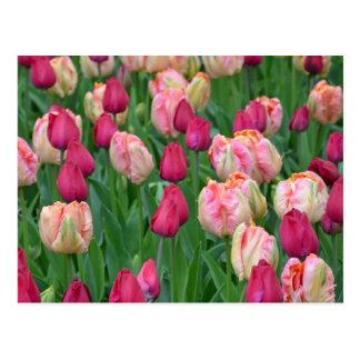 Jardin rose de tulipes de ressort cartes postales