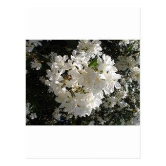 Jasmine Blossom. Postcard