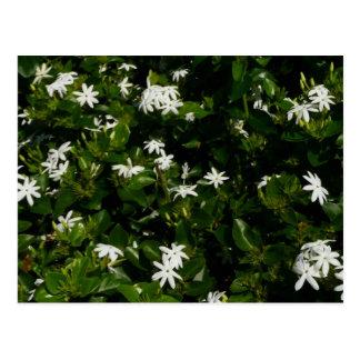 Jasmine Flowers Postcard