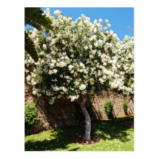 Jasmine Tree In Bloom Postcard