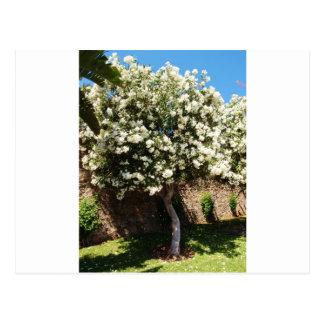 Jasmine Tree Postcard