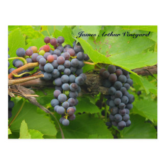 JAV St. Croix purple grapes 2013 2n Postcard