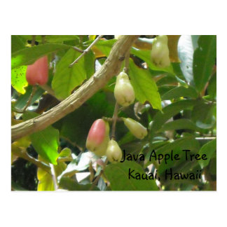 Java Apple Tree Postcard