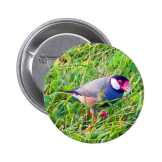 Java Sparrow in the grass in Hawaii 2 Inch Round Button