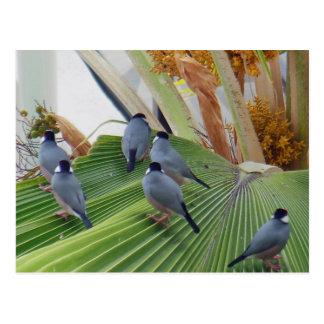Java Sparrows Hawaii Postcard