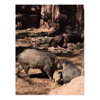 Javalina parents with a baby postcard