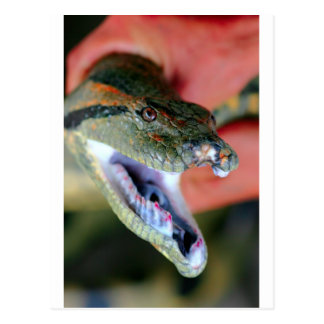 Jaws of anaconda postcard