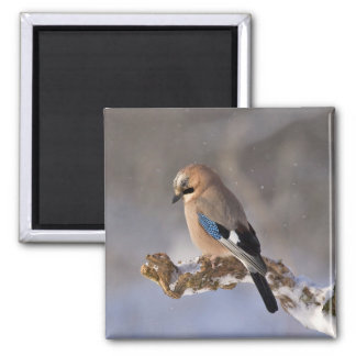 Jay bird sitting on a branch square magnet