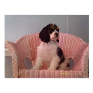 Jenna, Tri american cocker spaniel puppy Postcard