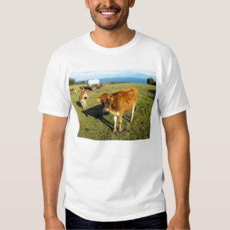 Jersey calves, St John, Jersey Tees