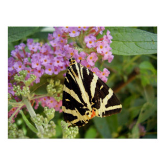 Jersey Tiger Butterfly Poster