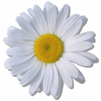 Jewelry - Pin - New Daisy Photo Sculpture Button