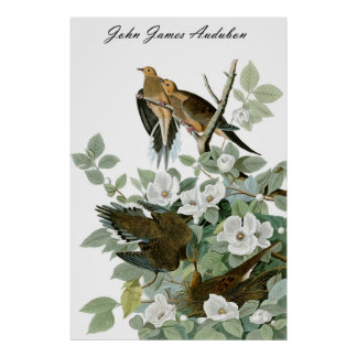 John James Audubon Carolina Pigeon Mourning Dove 1 Poster
