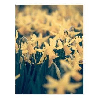 Jonquilles de printemps carte postale