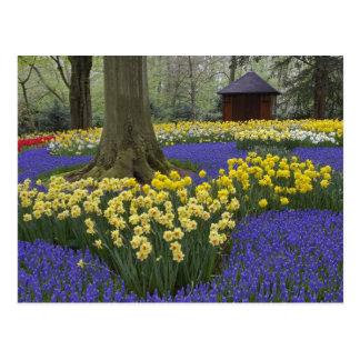 Jonquilles, jacinthe de raisin, et jardin de carte postale