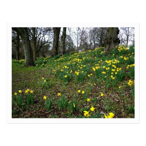 Jonquilles. Jardins de Sophia, Cardiff, Pays de Ga Carte Postale