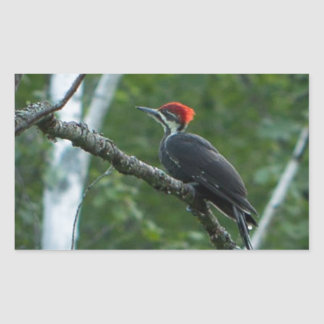 Jordan Pond Pileated Woodpecker.