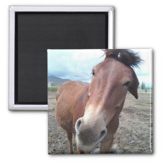 Josie the Mule Magnet