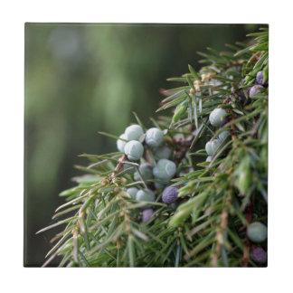 Juniperus berries on a tree tile
