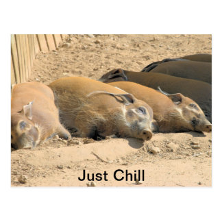 Just Chill Red River Hogs Postcard