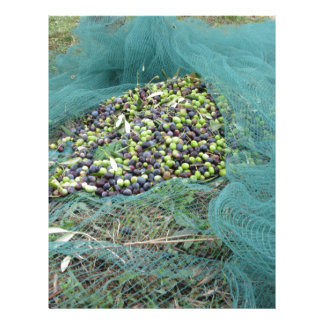 Just picked olives on the net during harvest time letterhead
