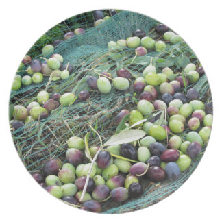 Just picked olives on the net during harvest time plate