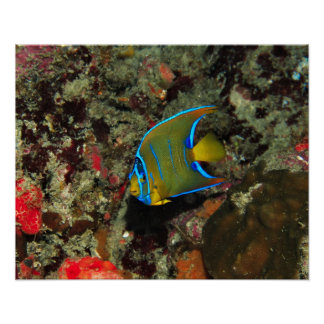 Juvenile Angelfish Poster