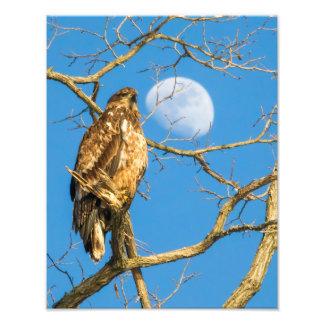 Juvenile Bald Eagle and the Moon Photo Art