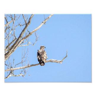 Juvenile Bald Eagle Art Photo
