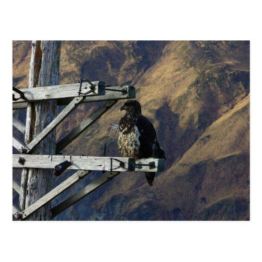 Juvenile Bald Eagle on WWII Telephone Pole Postcard