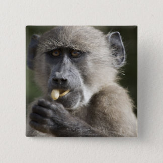 Juvenile Chacma baboon (Papio ursinus) eats nuts 2 Inch Square Button