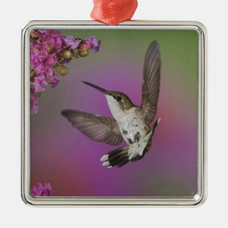 Juvenile male Ruby Throated Hummingbird in Metal Ornament
