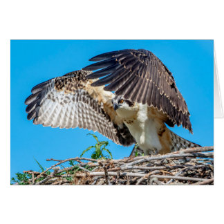 Juvenile Osprey in the nest Card