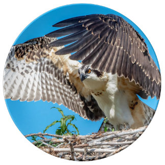 Juvenile Osprey in the nest Plate