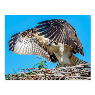 Juvenile Osprey in the nest Postcard