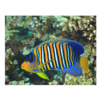 Juvenile Regal Angelfish Pygoplites Postcard