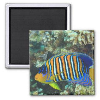 Juvenile Regal Angelfish Pygoplites Square Magnet