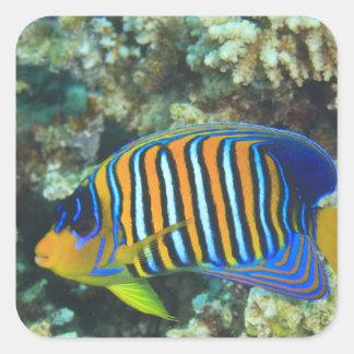 Juvenile Regal Angelfish Pygoplites Square Sticker