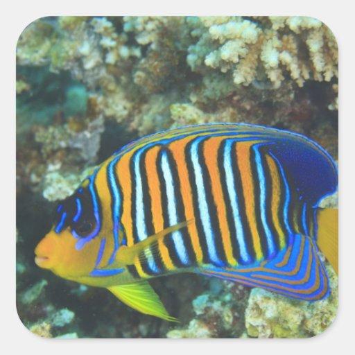 Juvenile Regal Angelfish Pygoplites Sticker