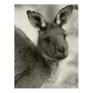 Kangaroo at Warrawong Sanctuary South Australia Postcard